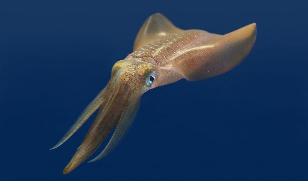 How to Get Laid if you're a Bigfin Reef Squid
