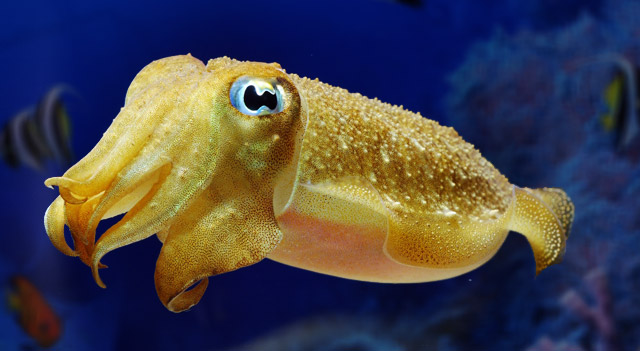 You Can't Fool a Cuttlefish